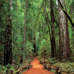 Picture of path in Redwood forest