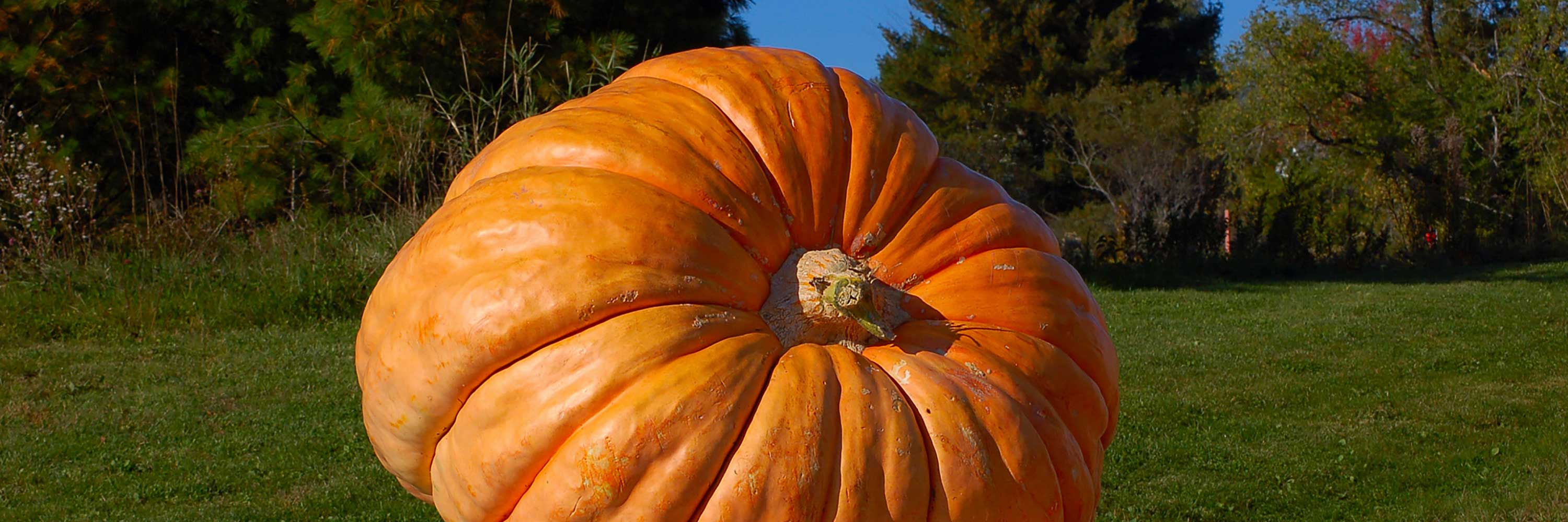 Picture of large pumpkin