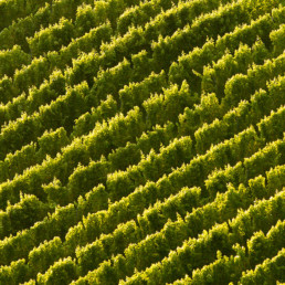 Picture of rows of grape vines