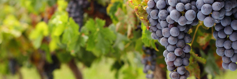 Picture of a grapevine