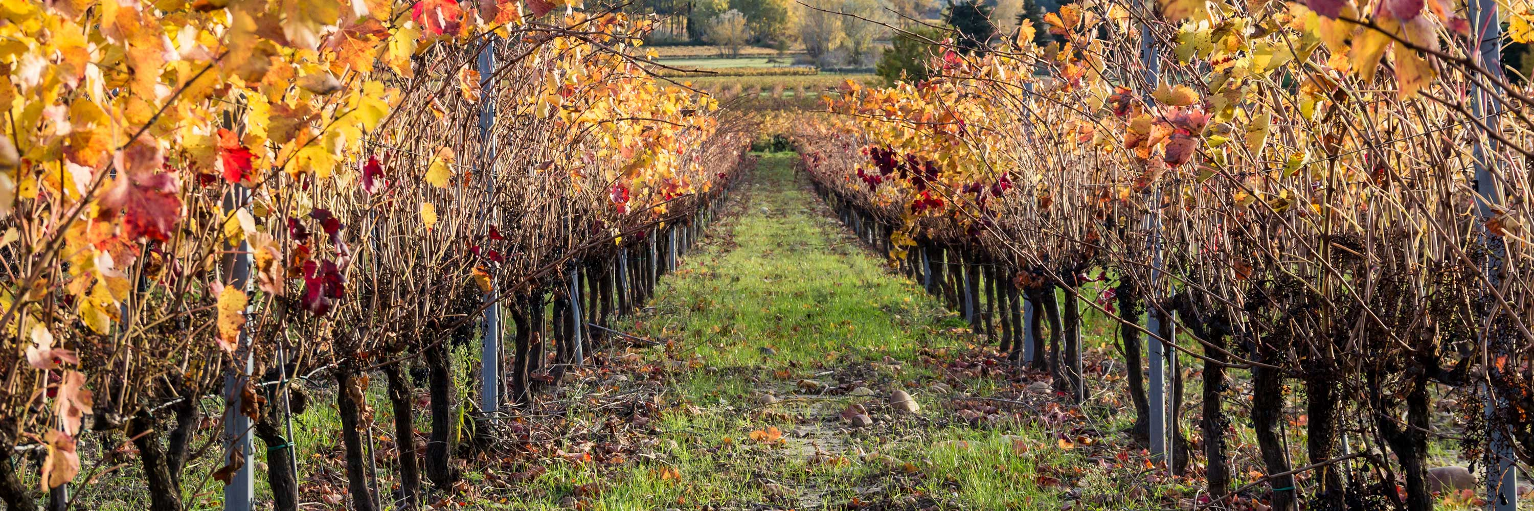Picture of vines in Autumn