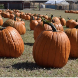 Picture of pumpkins in a field