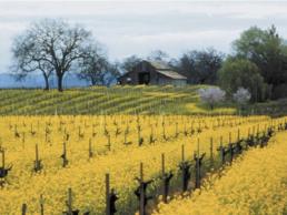 Mustard Blooms In Vineyard