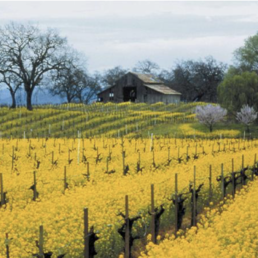 Mustard Blooms In Vineyard